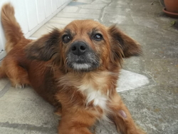 Bella, chien Teckel