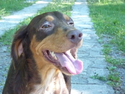 Bella, chien Chien d'eau espagnol