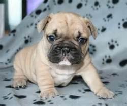 Bella, chien Bouledogue français