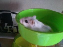 Bella , rongeur Hamster
