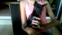 Bella, chien Pinscher