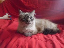 Bella, chat Angora turc