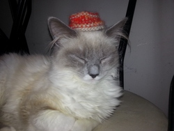 Bella, chat Ragdoll
