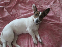 Bella, chien Jack Russell Terrier