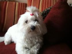 Bella, chien Bichon maltais