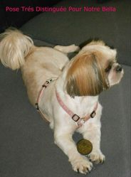Bella, chien Shih Tzu