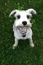 Bella, chien Schnauzer