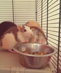 Bella, rongeur Rat