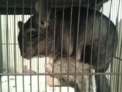 Bella, rongeur Chinchilla
