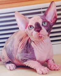Bella, chat Sphynx