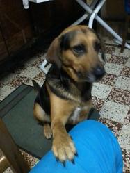 Bella , chien Berger allemand