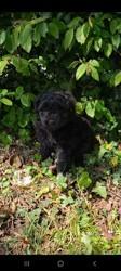 Bella, chien Dogue de Bordeaux