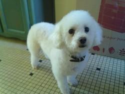 Bella, chien Bichon à poil frisé
