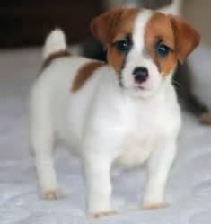 Bella , chien Jack Russell Terrier