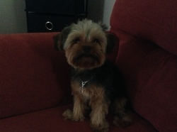 Bella, chien Yorkshire Terrier