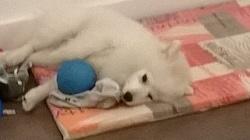 Bella, chien Spitz japonais