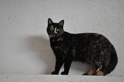Bella, chat Européen