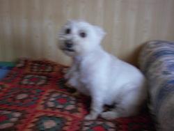 Bella, chien West Highland White Terrier