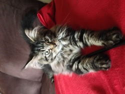 Bella, chat Maine Coon