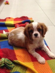 Bella, chien Cavalier King Charles Spaniel
