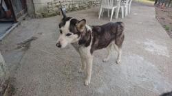 Bella, chien Husky sibérien