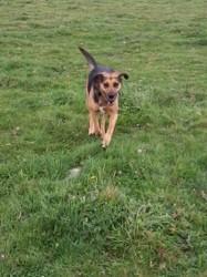Bella, chien Berger allemand
