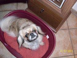 Bella, chien Épagneul tibétain
