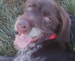Bella, chien Griffon à poil dur Korthals