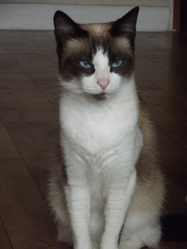 Bella, chat Snowshoe