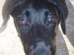 Bella, chien Labrador Retriever
