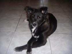 Bella, chien Border Collie