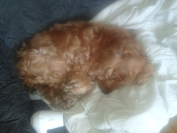 Bella, chien Cocker anglais