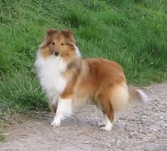 Bella, chien Berger des Shetland