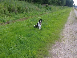 Belle, chien Border Collie