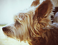 Belle, chien Yorkshire Terrier