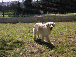 Belle, chien Golden Retriever