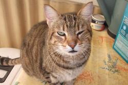 Belle, chat Européen