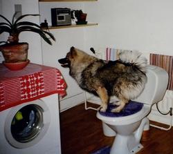 Belle, chien Spitz allemand