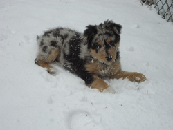 Belle, chien Berger australien