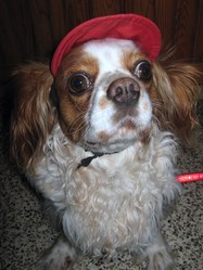 Belle, chien Cavalier King Charles Spaniel