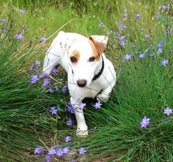 Belle , chien Jack Russell Terrier