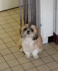Belle, chien Shih Tzu