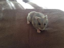 Belle, Dodo A Vie, rongeur Hamster