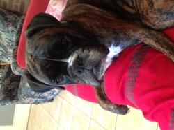 Belle, chien Boxer