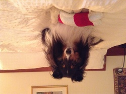 Belle, chien Berger des Shetland