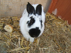 Belle, rongeur Lapin