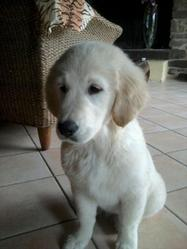 Belle, chien Golden Retriever
