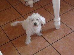 Belle, chien Bichon maltais