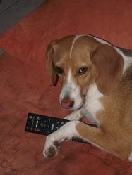 Belle, chien Beagle-Harrier