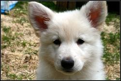 Belle, chien Berger blanc suisse